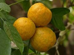 Petit grain bigarade orange amère