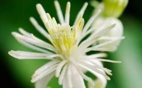 Fleur Clématite Sauvage