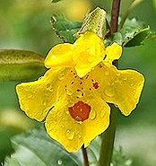 Fleur Muscade