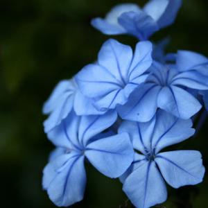 fleurs-de-bach-cerato