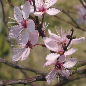fleurs-de-bach-cherry-plum
