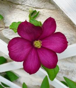 fleurs-de-bach-clematis