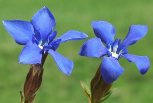 fleurs-de-bach-gentian