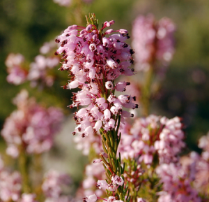 fleurs-de-bach-heather