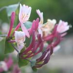 fleurs-de-bach-honeysuckle