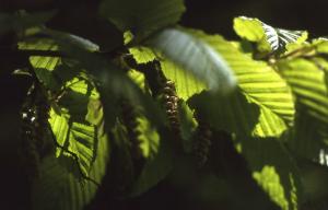 fleurs-de-bach-hornbeam