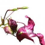 fleurs-de-bach-impatiens