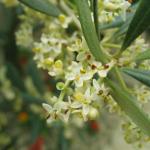 fleurs-de-bach-olive