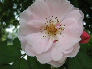 fleurs-de-bach-wild-rose