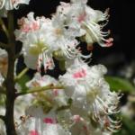 fleurs-de-white-chestnut