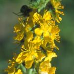 fleurs-de-bach-agrimony