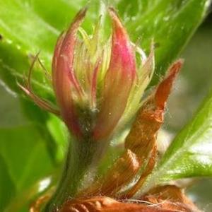 fleurs-de-bach-beech