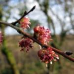 fleurs-de-bach-elm