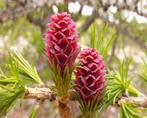 fleurs-de-bach-larch-2