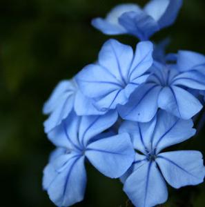 fleurs-de-bach-larch
