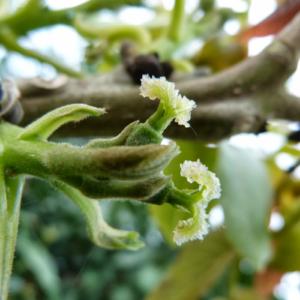 fleurs-de-bach-walnut