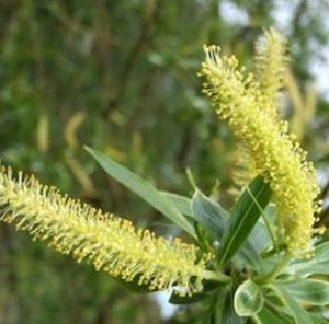 fleurs-de-bach-willow