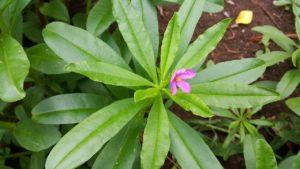 les-plantes-adaptogenes-ginseng-tonus
