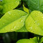 Les plantes adaptogènes