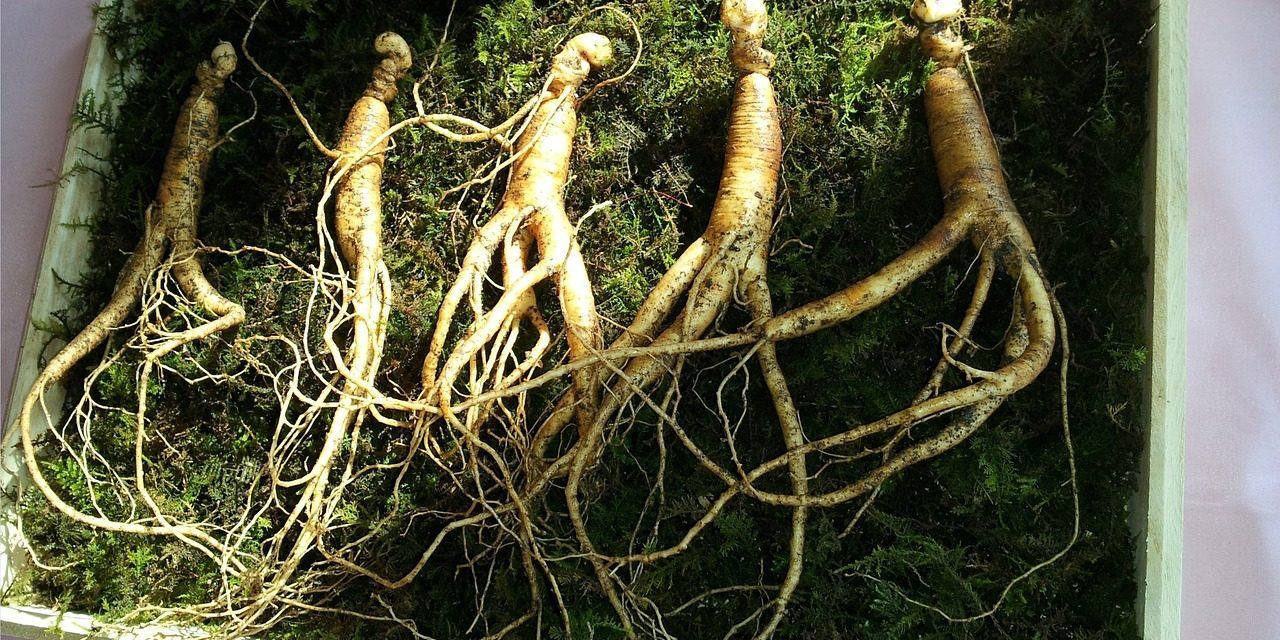 Le ginseng, plante médicinale et adaptogène aux mille vertus