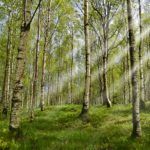 La sève de bouleau de Finlande