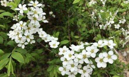 Aspirine naturelle, comment remplacer l'aspirine chimique ?